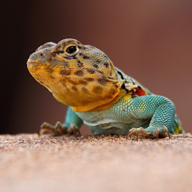 Come Here Often? by Taylor Mushinski - Animals Reptiles ( reptiles, lizard, nature, oklahoma, bright, colorful, wildlife )