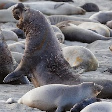 Elephant Seal Wallpaper Images