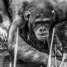 by Garry Chisholm - Black & White Animals ( garry chisholm, whipsnade, nature, ape, primate, chimp )