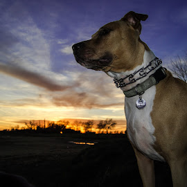 Pitbull Sunset by Tom Coulam - Animals - Dogs Portraits ( gibson ranch, sunset, #mypitpeach, pitbull, dog )