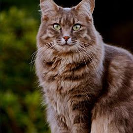Gracie by Kittie Groenewald - Animals - Cats Portraits