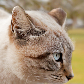 Spanish Ferrel Cat by Jackie Matthews - Animals - Cats Portraits ( cat, ferrel, lanzarote, spain,  )