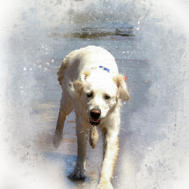 DASHING DOGS FOUR by Wayne Brown - Animals - Dogs Running ( labrador, rustic, retreiver, urban, beach, dogs, lab, dog )