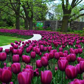 Tulips by Sathish Kumar S - Flowers Flower Gardens ( burlington, tulip garden, botanical garden )