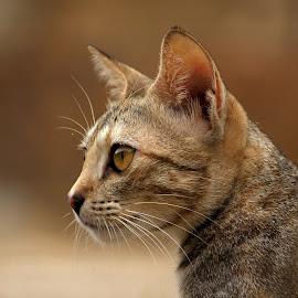 Keen look! by Swarna Rajan - Animals - Cats Portraits ( cats, tone, cat, portraits, animals, eyes )