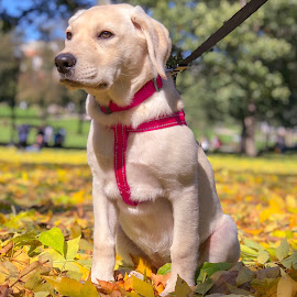 My pretty girl by Paul Gibson - Instagram & Mobile iPhone ( cute puppy, labrador, cute dog, fall, leaves, puppy, dog, cute )