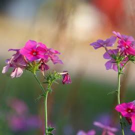 Pink flowers by Brenda Shoemake - Flowers Flowers in the Wild