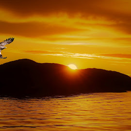 White tailed eagle in sunset by Roald Heirsaunet - Digital Art Animals