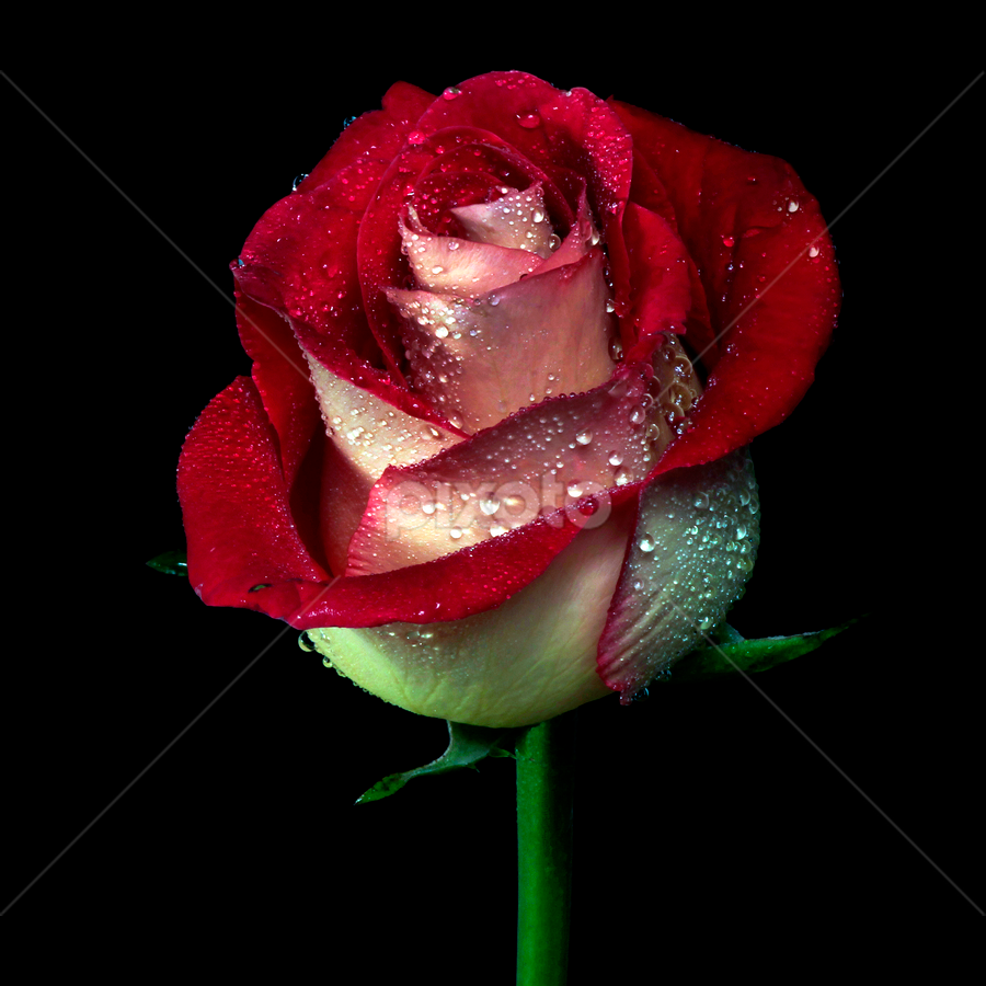 Rose bi*tone by Cristobal Garciaferro Rubio - Nature Up Close Flowers - 2011-2013 ( rose, petals, drop, drops, raindrops, flowers, flower, petal )