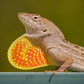 Showing Off by Bill Killillay - Animals Reptiles ( heart throat, lizard, orange heart, eye contact, pink heart, detailed, throat )