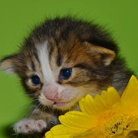 Little Cutie by Niney Azman - Animals - Cats Kittens