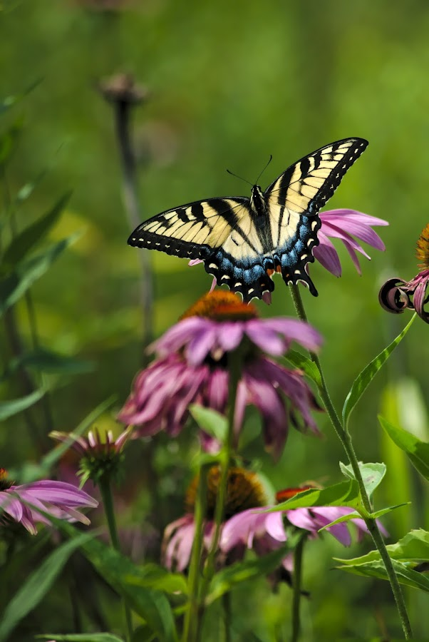 Tiger Swallowtail by Benjamin Howen III - Animals Insects & Spiders ( wisconsin, nature, butterfly, flower )