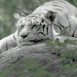 Cat On A Cool Rock by Sheen Deis - Animals Lions, Tigers & Big Cats ( zoo animals, nature, white tiger, animals, tigers )