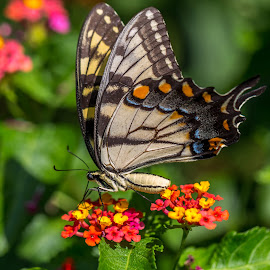 Eastern Tiger Swallowtail by Liam Douglas - Animals Insects & Spiders ( orange, butterfly, red, green, yellow, insect, black )