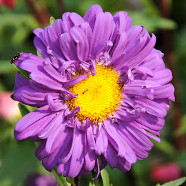 Purple by SANGEETA MENA  - Flowers Flowers in the Wild (  )