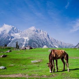 Horse Grazing by Harsha Vajjarapu - Animals Horses ( mountains, mountain, blue sky, sky, grazing, horses, blue, grass, green, snow, india,  )
