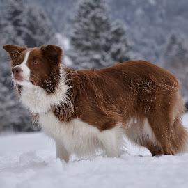 Lexi 1 by Bojan Kolman - Animals - Dogs Portraits (  )