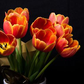 Tulips by Simon Hall - Flowers Flower Arangements (  )
