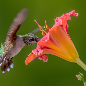 Taste Great by Mike Craig - Animals Birds ( beautiful, hummingbird, best, colorful )