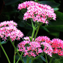 Backyard flowers by Mary Gallo - Flowers Flower Gardens ( pink flowers, garden flowers, flowers,  )