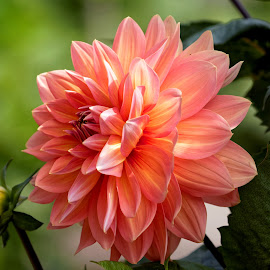 Dahlia 9424 by Raphael RaCcoon - Flowers Single Flower