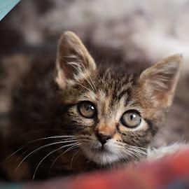 Kitty by Eglė Eglė - Animals - Cats Kittens ( kitten, cat )