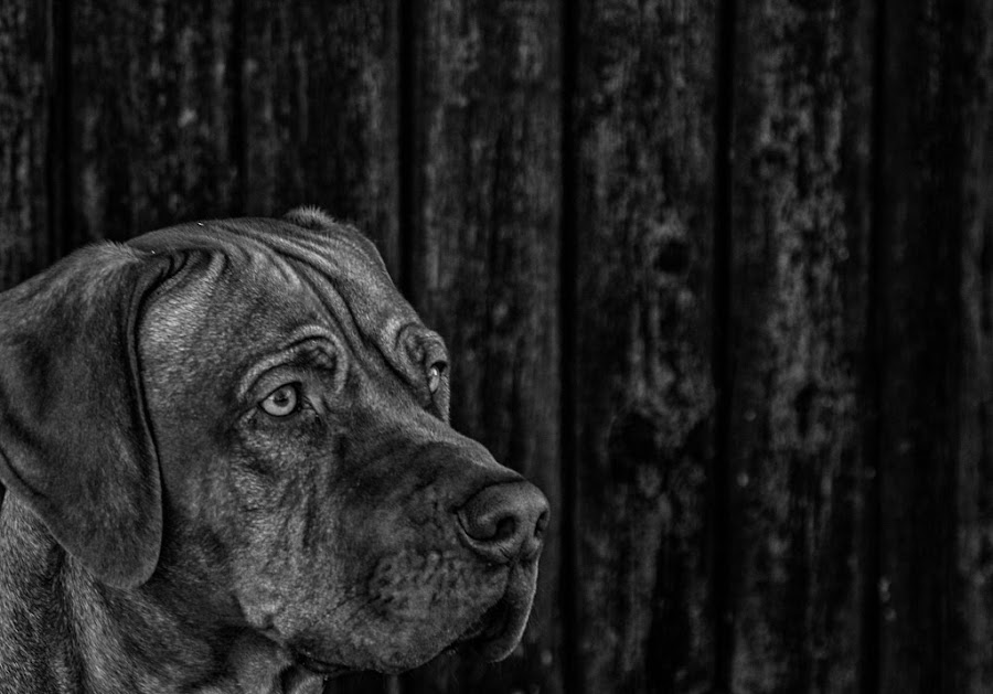 by Peter Engman - Animals - Dogs Portraits