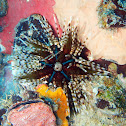 Banded/Double-Spined Sea Urchin