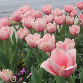 Tulips by Jo Anne Keasler - Novices Only Flowers & Plants