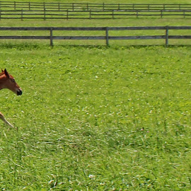 Unbridled Energy by Maureen Rueffer - Animals Horses ( colt, horse, running, energy, jump )