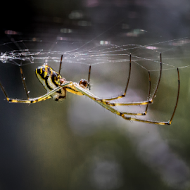 Silver Orb Spider by Gary Beresford - Animals Insects & Spiders ( orb, australia, web, spider )