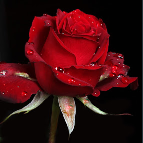 Red Rose by Cristobal Garciaferro Rubio - Nature Up Close Flowers - 2011-2013 ( red, petals, drop, drops, red rose, flowers, flower, petal )