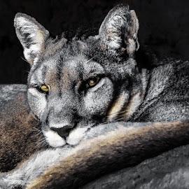 by Kim Hadji - Animals Lions, Tigers & Big Cats