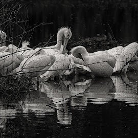 Pelican Pod by Joe Chowaniec - Animals Birds ( nature, black and white, pelicans, birds, pelican )