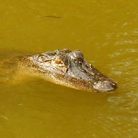 Alligator by Sandy Davis DePina - Animals Reptiles ( green, florida, alligator, swamp )