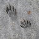 Raccoon paws