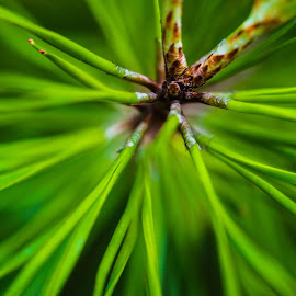 Pine needle by Keith-Lisa Bell Bell - Abstract Macro ( abstract, spiney, greenery, pine needles, nature close up )