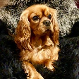 Cavalier by Camilla Uddgren - Animals - Dogs Portraits ( cavalier king charles spaniel, cavalier, dog portrait )