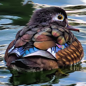 Coat Of Many Colors by Jack Powers - Animals Birds ( water, female, wood duck, duck, kansas, wichita )