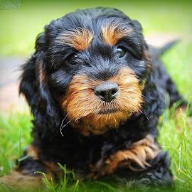 cavapoo puppy by Caroline Beaumont - Animals - Dogs Puppies ( cavapoo puppy )