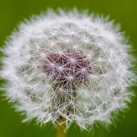 Dandelion by Carl Albro - Nature Up Close Other plants ( dandelion, green, flower )