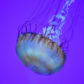 Sting by Lauren N. - Animals Sea Creatures ( creature, sea, ocean, animal, jellyfish )