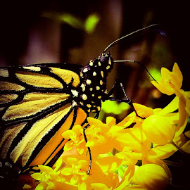 Monarch Butterfly by Anne LiConti - Instagram & Mobile Android ( #macrophotography, #mobilephotography, #phonephoto, #mobilephoto, #macro, #android, #phonephotography, #phone,  )