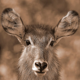Waterbuck by Johann Fouche - Animals Other Mammals ( waterbuck, buck, game, portrait, animal,  )