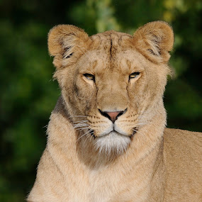 Beautiful Lioness by Fred van Maurik - Animals Lions, Tigers & Big Cats ( grassland, lion, felidae, cat, hilvarenbeek, panthera leo, african lion, female, savanna, bush, forest, beekse bergen, africa, netherlands )