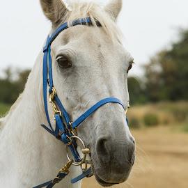 White horse by Carol Henson - Animals Horses ( bridle, trec, horse, white, august, equestrian )