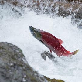Spawning Salmon by Peter Grutter - Animals Fish ( alaska 2016, fish, russian river, jumping fish, kenai peninsula, spawning )