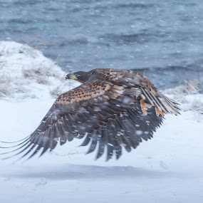 Eagle by Benny Høynes - Animals Birds ( winter, eagle, cold, snowflake, bird photography )