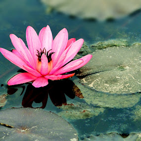 Lotus by Vatsal Patel - Nature Up Close Flowers - 2011-2013 ( water, pure, lotus, nature, flower )