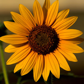 Flower by Tahir Sultan - Flowers Flowers in the Wild ( #flower, #nikon, #sunflower, #pixato, #singalflower,  )